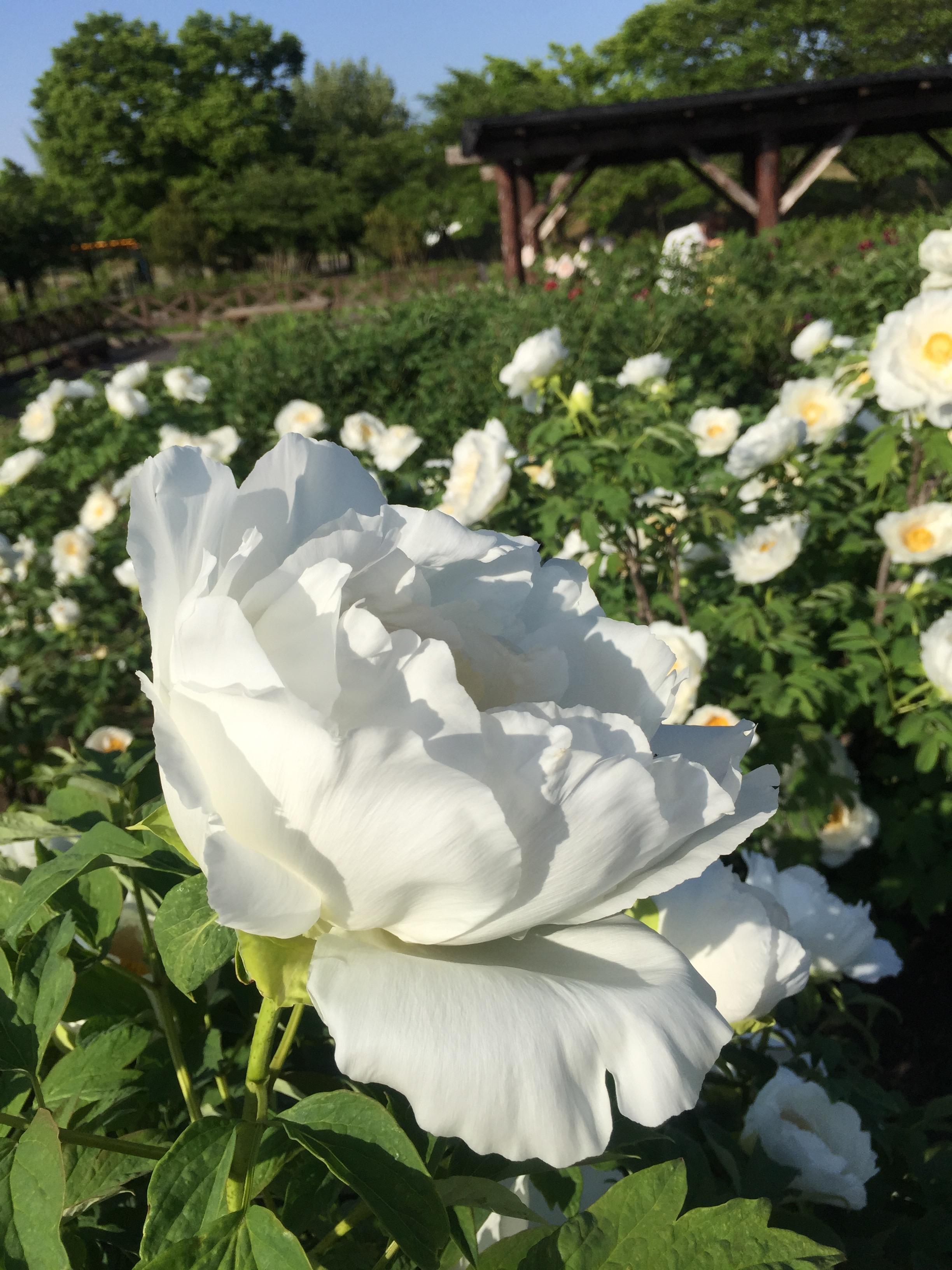 五泉市 東公園 牡丹祭